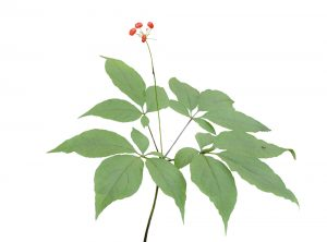 Ginseng and ginsenosides to potentially help skin wound healing