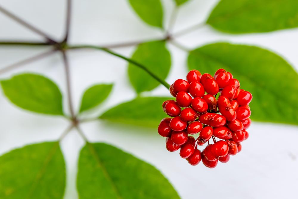 Ginseng and ginsenosides help promote bone health